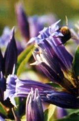 Květ hořce tolitovitého - klikněte pro zobrazení detailu