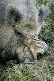 Bachyně s mládětem