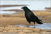 Vrána obecná černá