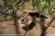 Samec žluvy hajní na hnízdě