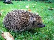 Zachráněný ježek při vypuštění