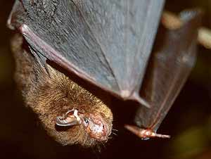 Netopýr hvízdavý Netopýr hvízdavý - Pipistrellus pipistrellus