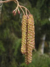 Samčí květenství klikněte pro zobrazení detailu