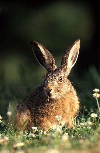 Zajíc polní Zajíc polní - Lepus europaeus
