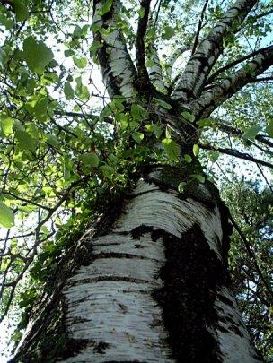 ... bříza betula druh bříza bělokorá betula pendula charakteristika