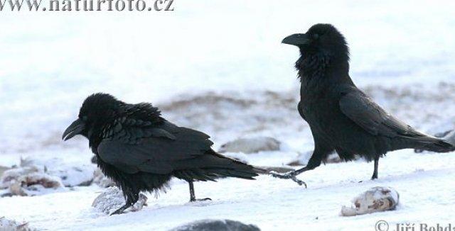 Krkavec Velky Corvus Corax Priroda Cz