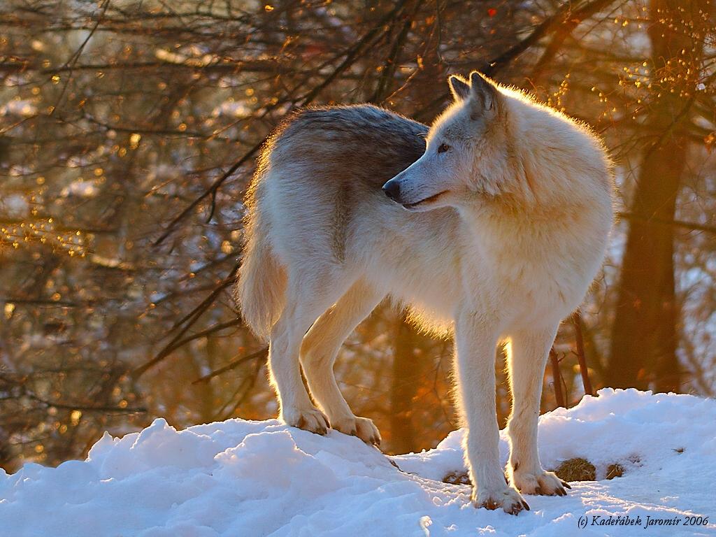 http://www.priroda.cz/pozadi/Vlk-kanadsky.jpg